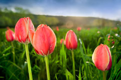 Close-up of beautiful tulips in the field. Beautiful tulips growing in the perfect green field Stock Image