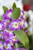 Close-up of beautiful vibrant purple orchid. In a botanic city park Royalty Free Stock Images