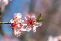 Close up of Pink Blossom Cherry Tree Branch, Sakura Flowers. Close-up of beautiful vintage sakura tree flower cherry blossom in spring. vintage color tone style Royalty Free Stock Photo