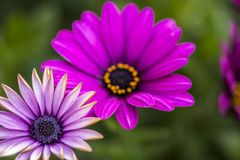 Close Up beautiful violet African daisy stock photo