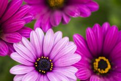 Close Up beautiful violet African daisy royalty free stock photo