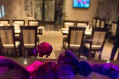 Small violet fish in public fishtank. Close up beautiful violet fish swimming in aquarium in restaurant royalty free stock images
