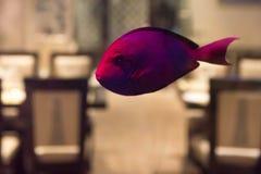 Small violet fish in public fishtank. Close up beautiful violet fish swimming in aquarium in restaurant royalty free stock photo