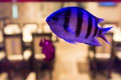 Small violet fish in public fishtank. Close up beautiful violet fish swimming in aquarium in restaurant royalty free stock photos
