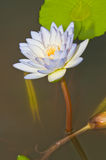 Close-up of beautiful violet lotus Stock Image