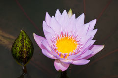 Close-up of beautiful violet lotus Royalty Free Stock Photo
