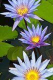 Close-up of beautiful violet lotus Stock Image