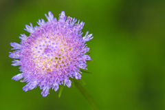 Close up beautiful violet thistle flower. Royalty Free Stock Photography