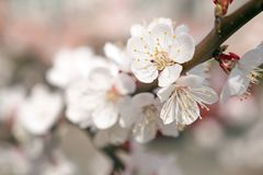 Close up beautiful white apricot or apple blossom in spring. Little white flowers on the branch. Spring in park, garden royalty free stock images