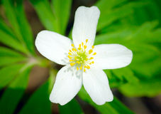Close up of beautiful white flower on green background Royalty Free Stock Photo