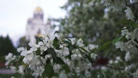 Close up for beautiful white flowers of apple trees on golden dome church background. Stock footage. Orthodox church. Close up for beautiful white flowers of royalty free stock image