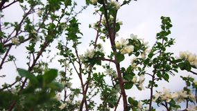 Close-up Beautiful White Flowers Bloomed On An Apple Tree And Sway In The Wind. In The Late Spring On A Warm Evening. The Concept Of Vegetables And Fruits In stock video