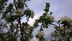 Close-up Beautiful White Flowers Bloomed On An Apple Tree And Sway In The Wind. In The Late Spring On A Warm Evening. The Concept Of Vegetables And Fruits In stock footage