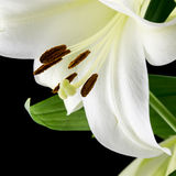 Close up of a beautiful white lily Royalty Free Stock Photography