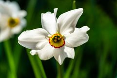 Close-up of beautiful white Poets Narcissus flower Narcissus poeticus, poets daffodil, pheasant`s eye, findern flower. Against the blurred green background stock photos