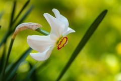 Close-up of beautiful white Poets Narcissus flower Narcissus poeticus, poets daffodil, pheasant`s eye, findern flower royalty free stock photography