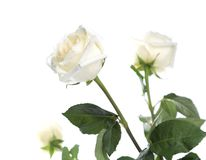 Close up of beautiful white roses. Stock Photos