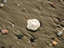 Close up of beautiful white sand dollar on the beach Stock Photography