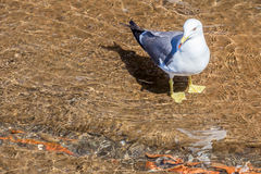 Close up beautiful white seagull standing in water . Royalty Free Stock Image