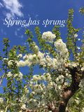 Conceptual image. Spring has sprung. Close up of beautiful white spring flowers in bloom on tree branches. Blue sky in background. Inspiring words in white font Stock Images