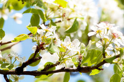 Close-up of beautiful white spring flowers Royalty Free Stock Images