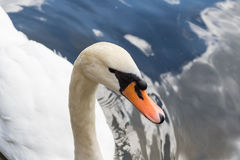 Close up beautiful white swan swimming on water. Royalty Free Stock Images