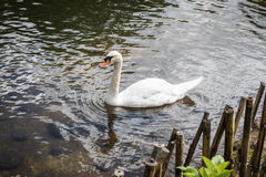 Close up beautiful white swan swimming on water. Stock Photos