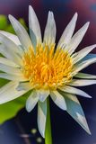 Beautiful white water lily with yellow pollen Stock Image