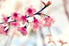 Close Up Beautiful Wild Himalayan Cherry blossom. In north of Thailand Stock Photos