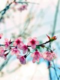 Close Up Beautiful Wild Himalayan Cherry blossom. In north of Thailand Royalty Free Stock Images