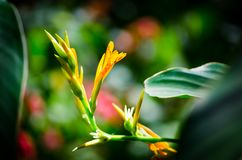 Close up beautiful yellow Canna Flower in spring season at a botanical garden royalty free stock image
