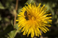 Close-up beautiful yellow dandelions with a bee royalty free stock image