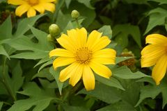 Close up beautiful yellow flower in garden, top view stock image