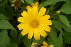 Close up beautiful yellow flower in garden, top view stock photography