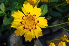 Close up of Beautiful yellow flower with red patches on sunny day. Background green leaf Royalty Free Stock Images
