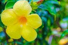 Close-up beautiful yellow hibiscus flower Royalty Free Stock Images