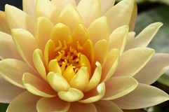 Close up of beautiful yellow lotus blossom Stock Image
