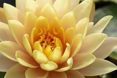 Close up of beautiful yellow lotus blossom Stock Image