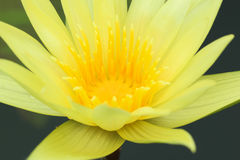 Close up of beautiful yellow lotus blossom. Royalty Free Stock Images