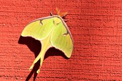Yellow Luna Moth Close-up. Close-up of a beautiful yellow Luna moth as it clings to the side of a red wooden barn royalty free stock images