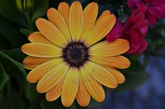 Close-up of beautiful yellow and orange cape daisy blossom stock photography