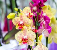 Close-up of yellow orchid Phalaenopsis Cleopatra with red spots stock photography