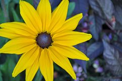 Beautiful yellow rudbeckia flower Royalty Free Stock Images