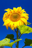 Close-up of beautiful yellow sunflower with leaf on blue sky Stock Image