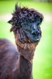 Close-up of a beautiful young alpaca Stock Photos