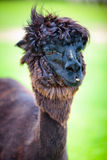Close-up of a beautiful young alpaca Royalty Free Stock Photography