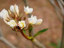 Close up of beautiful young yellowish white Plumeria Frangipani, Temple Tree, or Graveyard Tree flowers on a defocus background. Beautiful young yellowish white royalty free stock photos