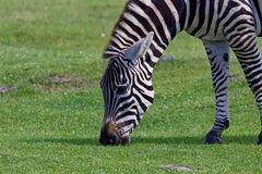 Close-up of a beautiful zebra on the field Stock Images
