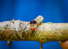 Close up of a beautifull caterpillar posing over a trunk inside of the amazon rainforest in Cuyabeno National Park in Royalty Free Stock Images