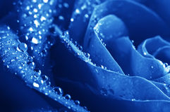 Close-up Beautiul Blue Rose With Water Drops Royalty Free Stock Images